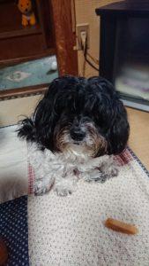 トリミング前のミックス犬「マルプー」のココア